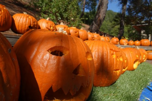 Row of jack-o-lanterns carved by Ross Valley Charter elementary school students